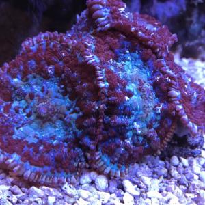 Родактис двухцветный